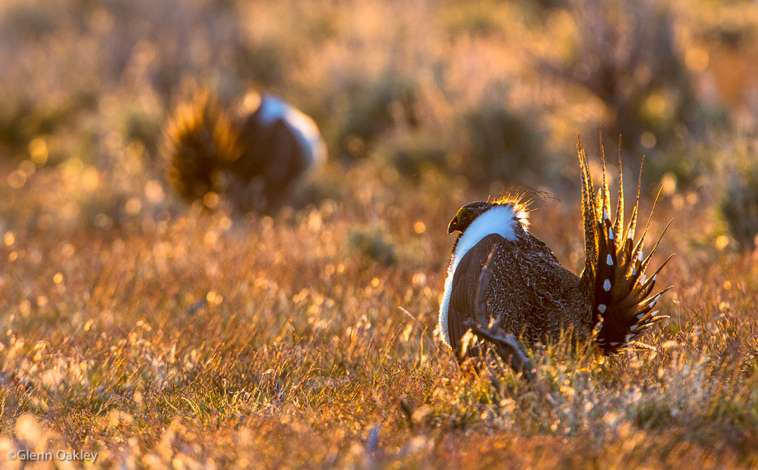 20170416_sagegrouse_0091
